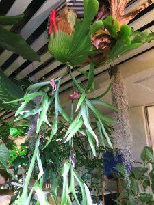 観葉植物 コウモリラン