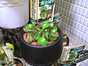 ★希少、高価な食虫植物★